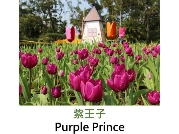 紫王子.JPG