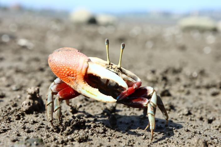 有著強壯手臂(大蟹)的招潮蟹[開啟新連結]