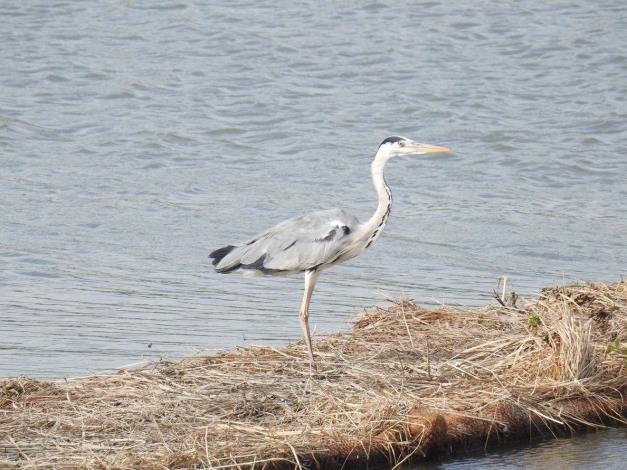 社子島濕地可觀賞到蒼鷺
