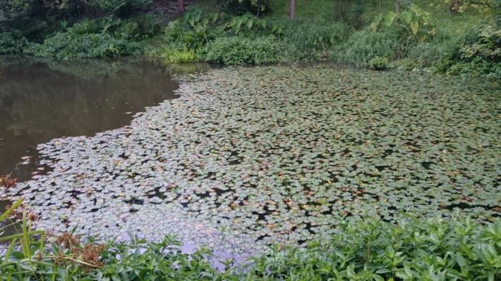 「臺灣萍蓬草」是臺灣水生植物代表,耐寒性佳,全世界的53種萍蓬草中,只有它分佈在臺灣這亞熱帶及熱帶地區,是萍蓬草分佈的最南界,隱身在小小的公園內,多樣的物種是這裡寶藏[開啟新連結]