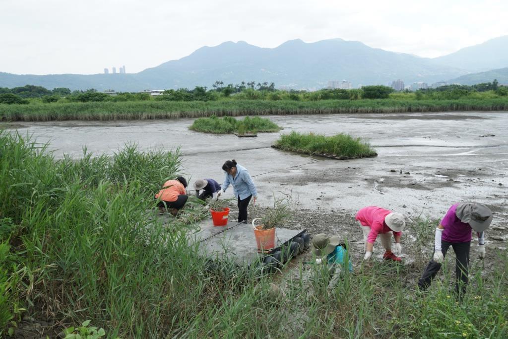 社子島濕地志工參與移除蘆葦的棲地守護工作