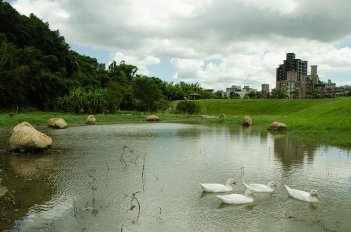 白鴨戲水,自然生態與防洪工程融為一體(Ducks swimming in the pond—harmonious combination of ecology and flood control engineering)