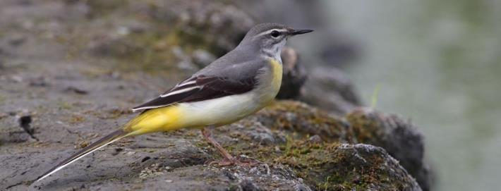 Grey Wagtail; photography by Chao Wei-Kai