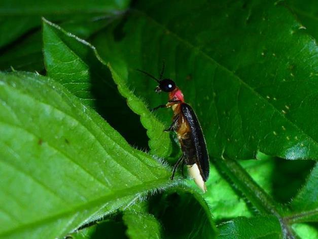 螢火蟲腹部白色處是雄蟲的發光器[開啟新連結]