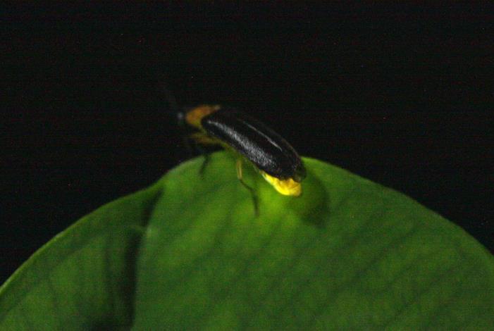 夜晚的小精靈螢火蟲[開啟新連結]