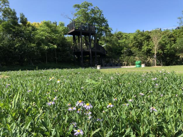 07地景花朵裡開著紫色小菊花的馬蘭[開啟新連結]