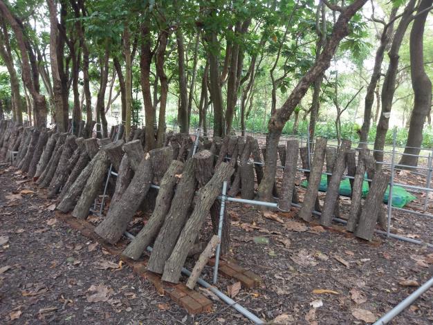 1利用疏伐椴木、風倒木等作為椴木來源,用於培育香菇或木耳(圖片由林務局提供)