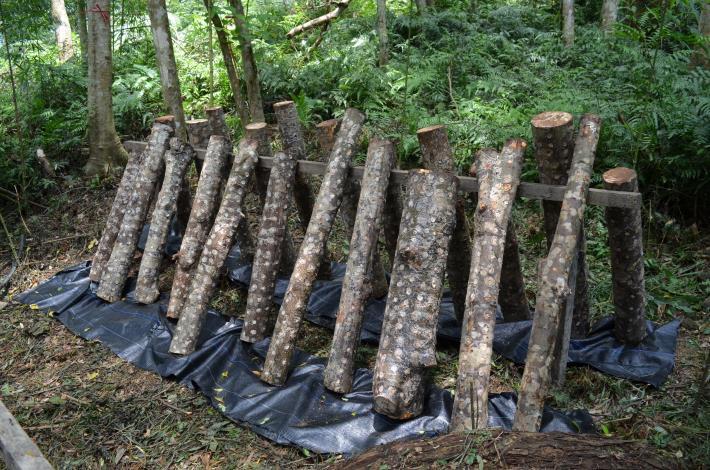 2友善環境前提下,大地處鼓勵林農提出培育香菇等林下經濟申請(圖片由林務局提供).JPG