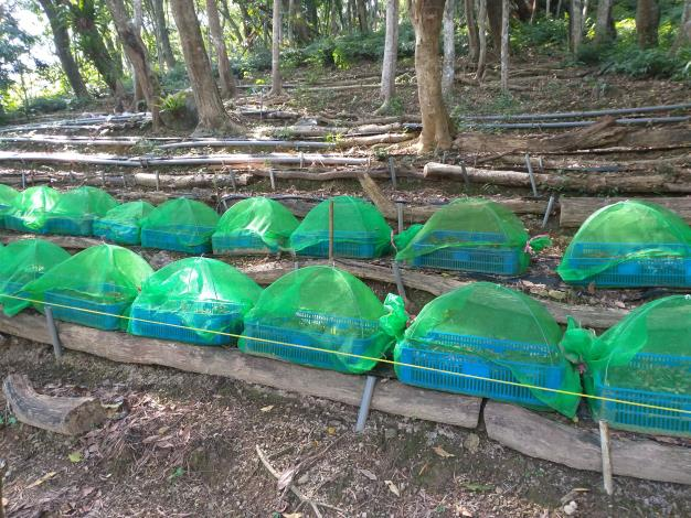 4以容器栽植金線連,並須防止蛞蝓、蝸牛進入啃食(攝影/許原瑞)