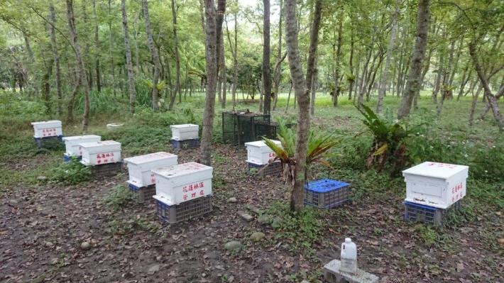 5林下養蜂增加林木授粉和結果率,更可促進林木更新
