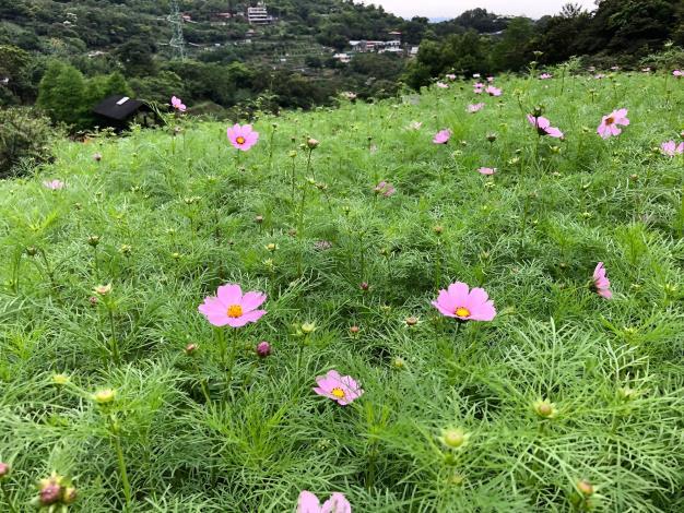5-第一批花苞已率先迎向遊客.JPG