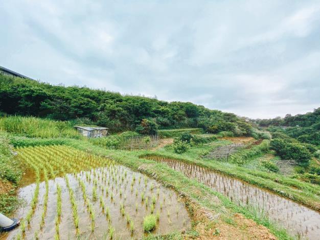 照片4 鵝尾山水田已種下秧苗,靜待其呈現不同色彩的變化。