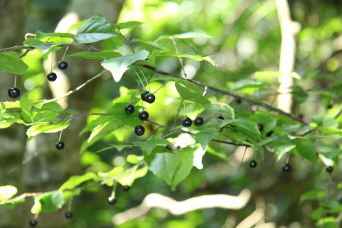 林下植物如燈稱花等可供藥膳,適合發展林下經濟及食農教育。