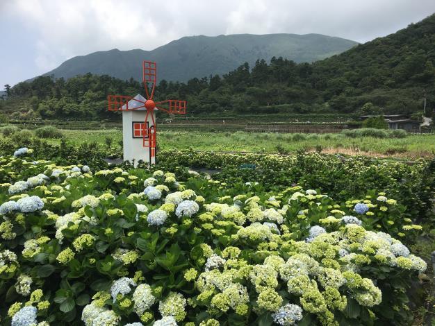 6.或白或青的繡球花.JPG