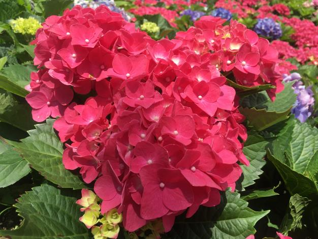 1.熱情的紅色繡球花.JPG