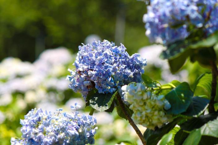 2.神秘的藍色繡球花