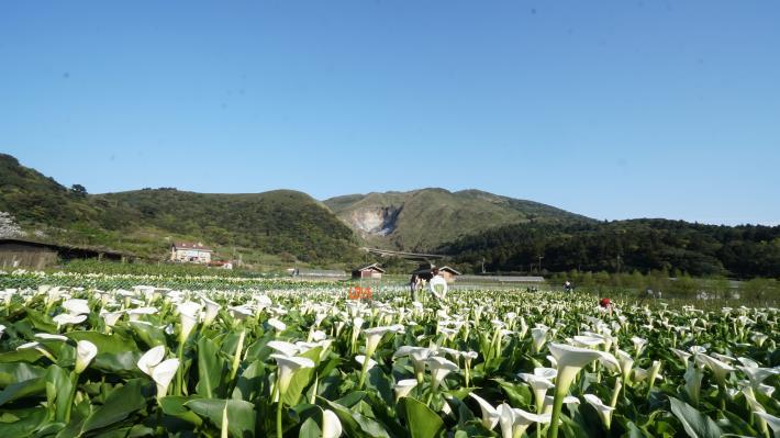 照片5  芋見小路欣賞到小油坑火山與海芋同框的美景.JPG