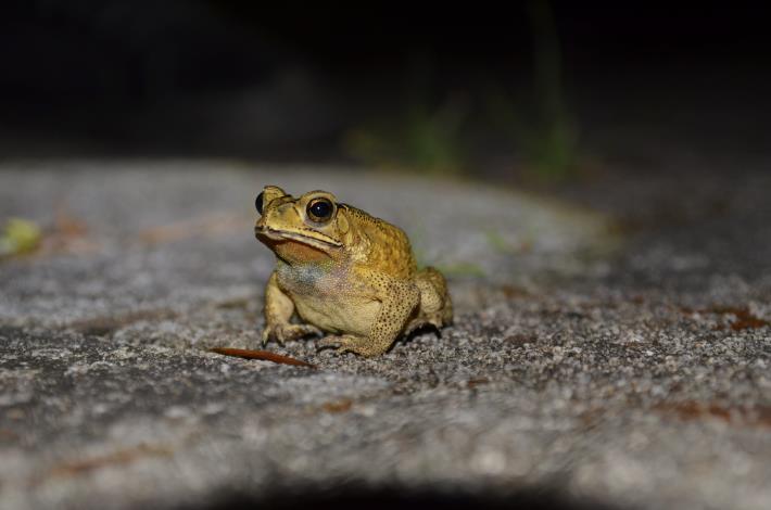 04夜間觀察時有機會這麼近距離看到黑眶蟾蜍