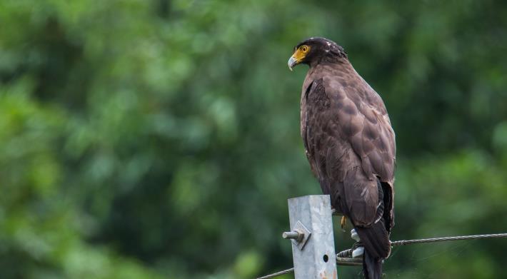 01天氣晴朗時有機會見到臺北市常見的郊山老鷹-大冠鷲