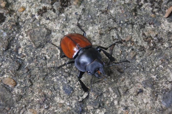 02紅圓翅鍬形蟲,在夏秋兩季的內雙溪森林裡常見到牠的蹤跡唷