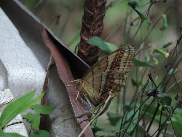 07觀察昆蟲的方法-食物誘捕法,時常看見環紋蝶被果香吸引前來覓食的畫面