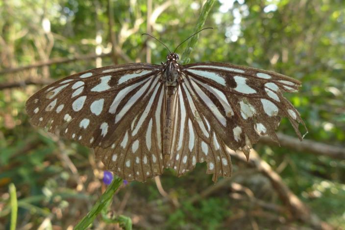 03擁有藍色條斑翅膀的青斑蝶,秋季會大量聚集在開花的樹木上吸食花蜜