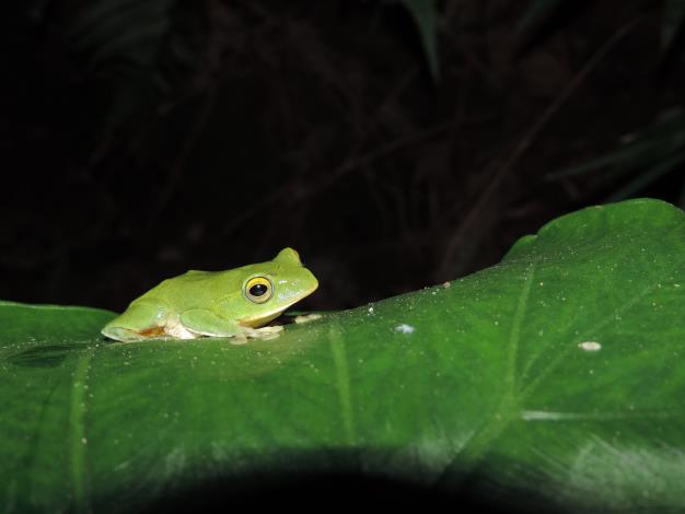 08臺灣特有種的保育類-臺北樹蛙,非常珍貴的物種在內雙溪也有機會看到