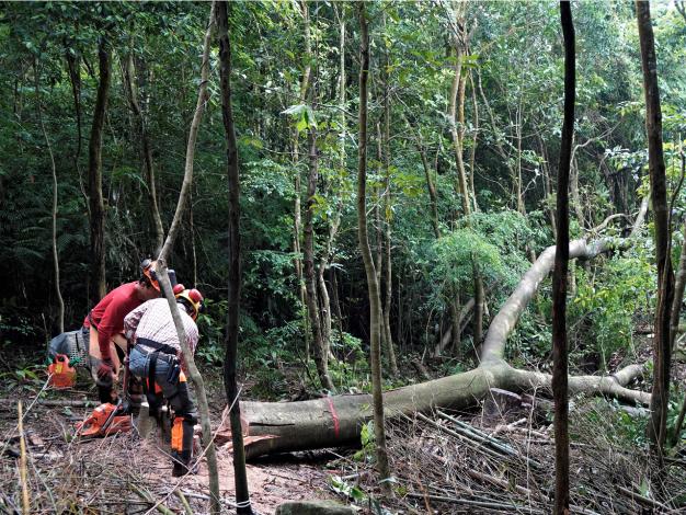 大崙頭山現場針對老熟相思樹優先疏伐,以提升森林健康。