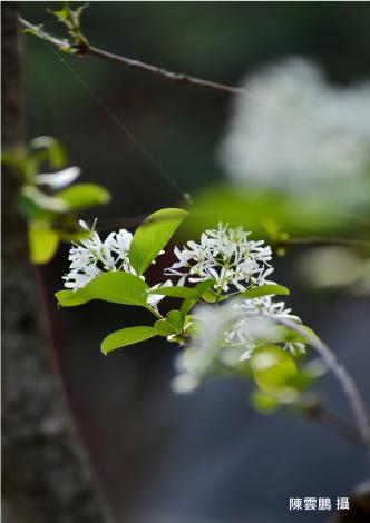 流蘇的白色花序非常優美,且適合臺北市的生長環境。
