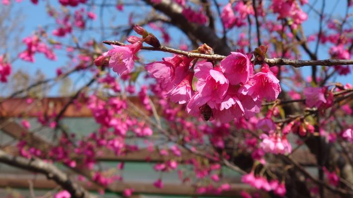 5-粉色櫻花.JPG