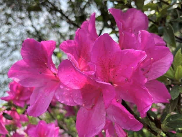 4.沐浴陽光中的艷紫杜鵑