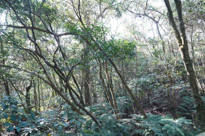 大崙頭山現場部分林木有被壓情形,顯示林木有競爭情形。_Fotor