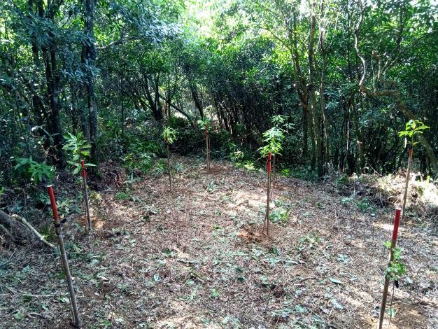 針對既有孔隙區塊則清除地被後,直接種植多樣化的原生樹種,以達豐增補植。