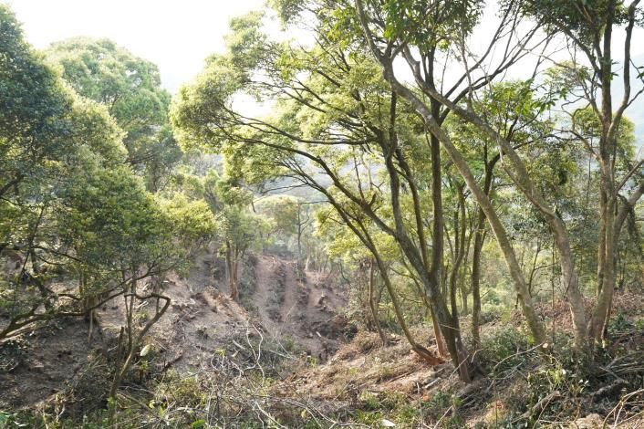 大地處與臺北市立美術館合作針對大崙尾山公有林疏伐,並保留較大徑級的原生樹木。.JPG