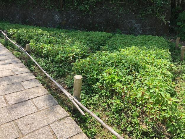 樟樹步道-羽狀雞冠花.JPG