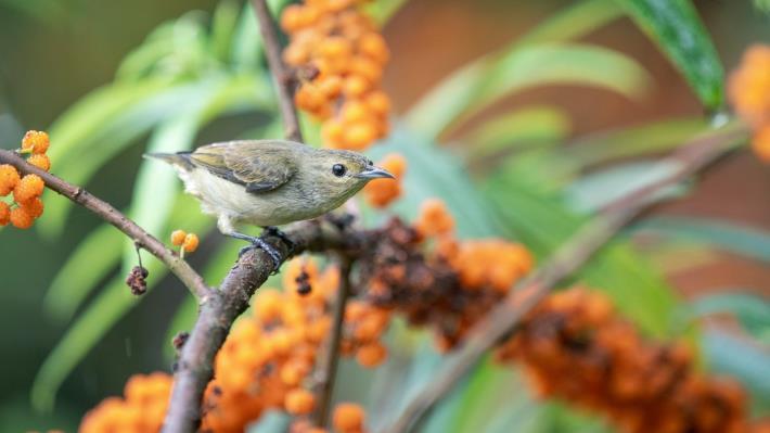 01綠啄花前來覓食水麻橙黃色的果實。(攝影林哲宏)