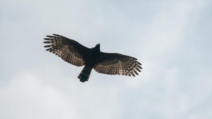 05大冠鷲,晴朗的上午可見大冠鷲隨著氣流攀升翱翔。(攝影林哲宏)