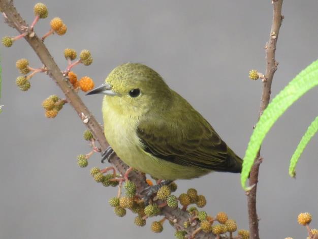 02綠啄花 成鳥體色大致呈現橄欖綠,身長約7-9公分,喜歡在溪邊的樹叢中活動。(攝影陳素霞)