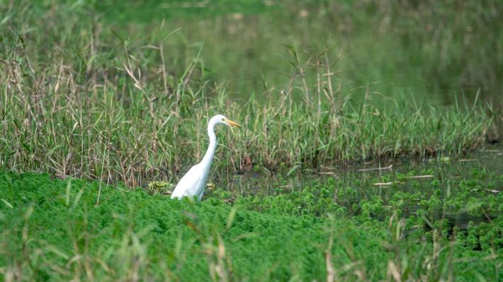 06鷺鷥科鳥類,在內溝溪水域耐心等待獵物。(攝影林哲宏)