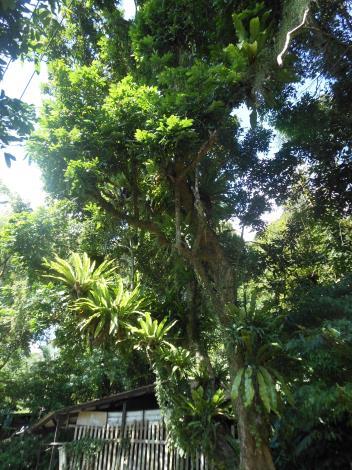 04沿途可見高聳大樹,樹上布滿山蘇等蕨類植物.JPG