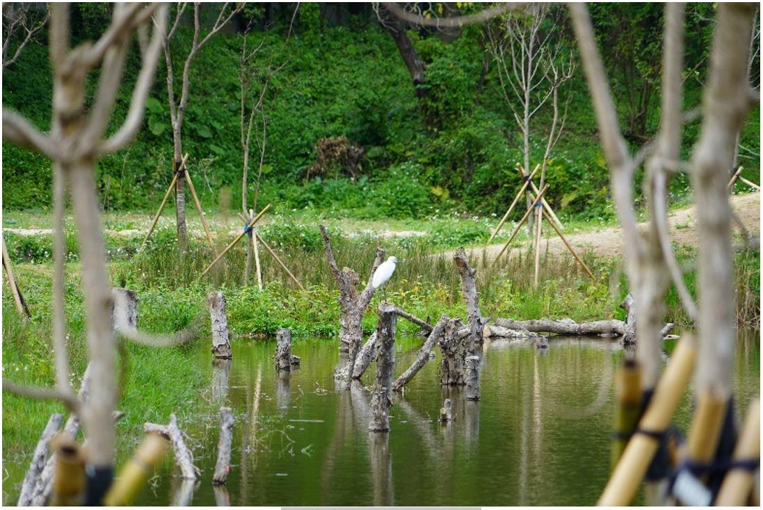 白鷺鷥於陂塘鳥踏駐足