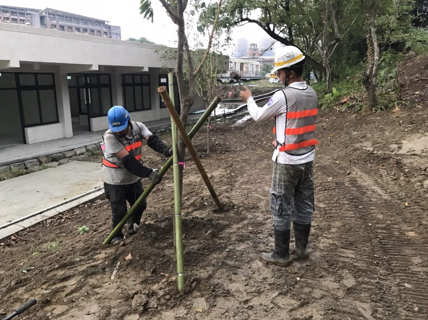 喬木植栽並架設支撐