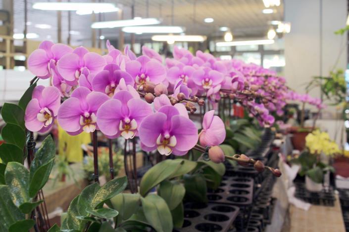 門市的紅花系蝴蝶蘭,此品種為「安娜公主」