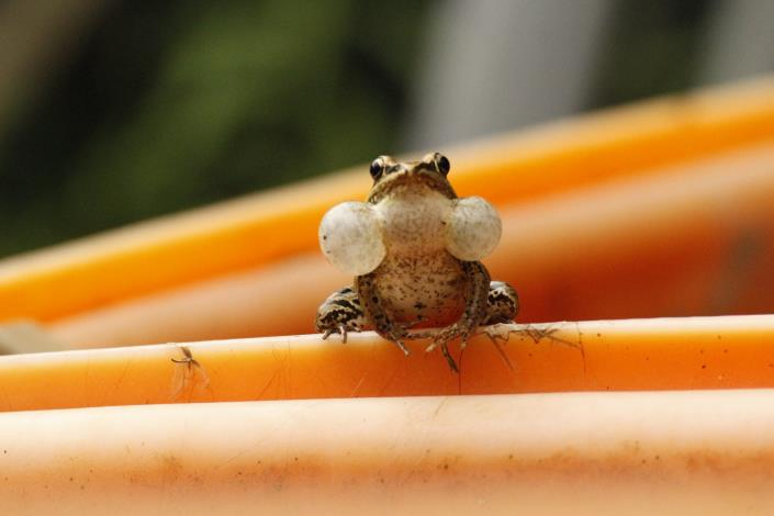 圖四:夏蛙系列活動,帶學員認識青蛙的各種知識與了解棲地開發現況,一起守護兩棲動[另開新視窗]