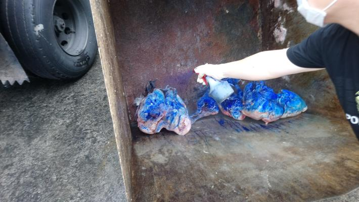 圖2經檢驗禽流感陽性之雞隻屠體依規定倒入染色劑後送化製銷毀