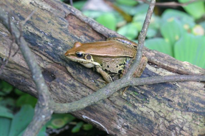 圖3.認識青蛙的生長歷程與環境對青蛙的影響、現況。.JPG