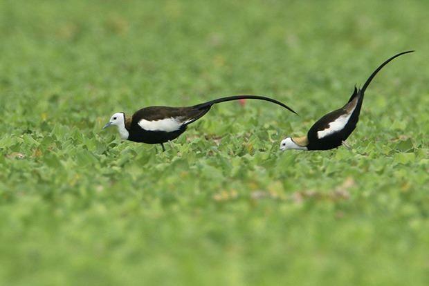 圖2.水雉復育計畫談到生物多樣性的棲地實作分享。
