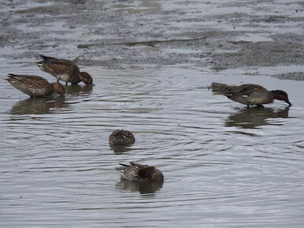 圖4.華江雁鴨自然公園的嬌客-小水鴨。