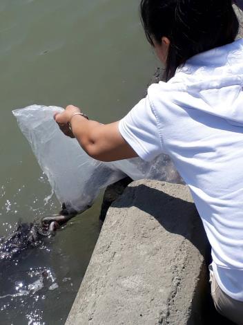 圖2.放生者將泥鰍傾倒入河中。