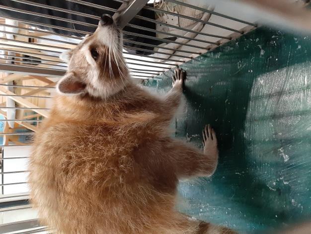 圖2. 動保處將本案浣熊帶回安置。